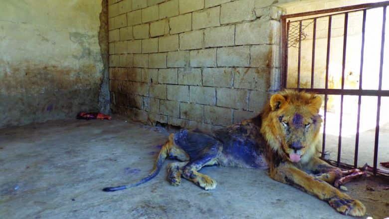 Yemen The Abandoned Animals of Taiz