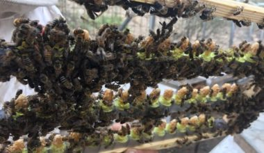 GCC's First Queen Bee Apiary in Hatta